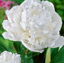 DUCHESSE DE NEMOURS' WHITE PEONY - 2 Large Bare Root Tubers - HIGHLY FRAGRANCED