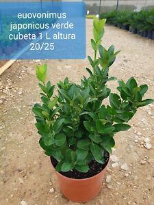 Euovonimus japonicus verde  jardines  Terrassa  setos  decorativo  casa plantas