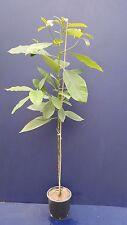 1 pianta di Avocado PERSEA AMERICANA Vaso18 altezza 80-120 cm