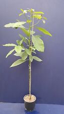 PERSEA AMERICANA V18 pianta plant Avocado