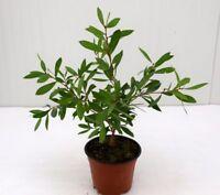 Pianta Callistemon Rosso, Arbusto di Callistemone in Vaso 18cm