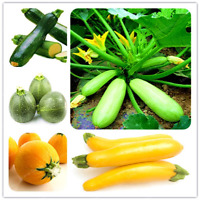 Zucchini Bonsai Balcony Organic Vegetables 10 Pcs Seeds Potted Plants NEW 2020 T