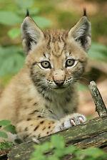 Carte postale: Lynx BABY-très belle prise! Baby Lynx