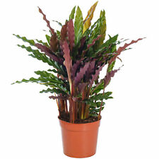 Calathea Elgergrass Stunning Indoor Potted Plant Houseplant for Homes & Offices