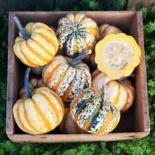 WINTER SQUASH - ACORN FESTIVAL (15 SEEDS) Superior sweet flavor and texture!