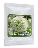 RIESEN LAUCH WEISS (Allium giganteum) - 30 Samen / Pack - Zierlauch - Winterhart