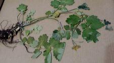 Schöllkraut (Chelidonium majus), Heilpflanze, für Herbarium,   Mohngewächse