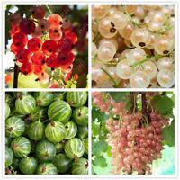 50 pcs/bag gooseberry fruit juicy currant Organic fruit seeds Nutritious bonsai