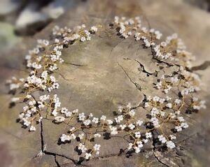 "Gold Hair Vine Tiara crown bridal bridesmaids baby's breath Gypsophila 20"" Boho"