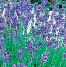 Herb Lavender Munstead Dwarf - 100 seeds