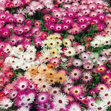 8000+ICE PLANT MIX Seeds Livingston Daisy Rock Gardens Ground Cover Reseeds
