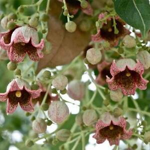 KURRAJONG TREE SEEDS BRACHYCHITON POPULNEUS NATIVE BUSH TUCKER FLOWERING