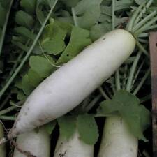 500 pcs white Radish F1 Hybrid green vegetable seeds