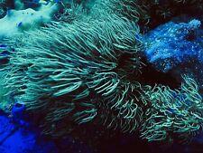 Wwc Long Polyp Green Star Polyp Coral Frag