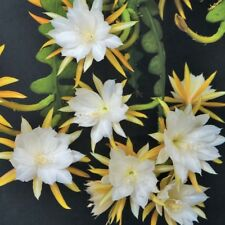EPIPHYLLUM ANGULIGAR (HEAVILY SCENTED) ROOTED PLANT