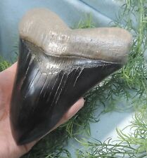 IMPRESSIVE 6 1/16''  MEGALODON TOOTH REPLICA, HAND PAINTED!!/FOSSIL SHARKS TEETH