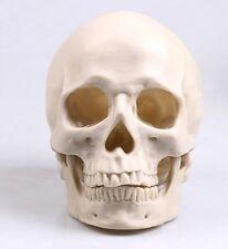 1x New Human Skull Replica Resin Model Medical Realistic lifesize 1:1 Nice White