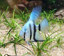 Philippine Blue Angelfish Quarter Size