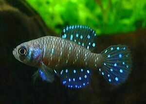 "Rare 30 EGGS KILLIFISH "" Blackfin Pearl "" HATCHING Free Fairy Shrimp"
