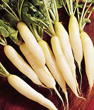 """White Icicle Radish *Heirloom* (300 Seed's) """"FREE SHIPPING""""<Non-GMO>"""