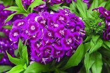 50+  Violet Purple Oeschberg Dianthus Flower Seeds / Biennial