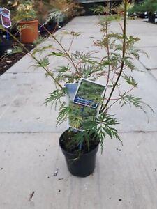 Japanese Maple 'Emerald Lace' Tree, Acer Palmatum 'Emerald Lace' In 9.5cm Pot