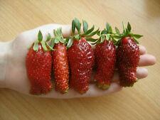 5  getopfte Erdbeerpflanzen Erdbeeren Zemklunika