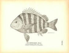 Rare 1884 Antique Fish Print ~ The Sheep's Head Sheephead Lot of 2 prints