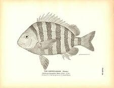 Rare 1884 Antique Fish Print ~ The Sheep's Head Sheephead Lot of 2 prints