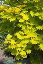 Japanischer Goldahorn Acer shi. Aureum Veredelung 40 - 50