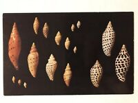 Shells Of Florida And The Gulf Of Mexico Postcard
