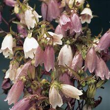 "40+ Heirloom Campanula Takesimana""Canterbury Bells"" Perennial Flower Seeds /Gift"