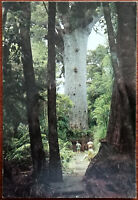 Giant Kauri Tree, Waipoua Forest, Northland. New Zealand Post Card