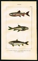 1844 Salmon Species, Fishes, Hand-Colored Antique Engraving Print - Lacepede