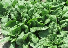"Organic Seeds Spinach ""Sigma Leaf"" 100 seeds. Winter. Full set of vitamins."