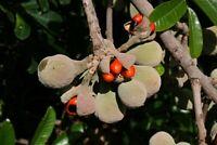 Natal mahagoni - Trichilia emetica - Natal Mahogany  10+ Samen - Saatgut - Seeds