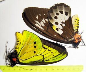 Ornithoptera goliath procus from Seram (perfect pair), butterflies