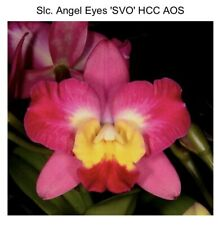Slc Angel Eyes 'Svo' Hcc/Aos X Blc Laughing Boy 'Remake Splash' 4.5� (15) 7407