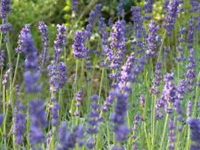 10 Stück Lavendel Lavandula L.angustifolia Hidcote Blue