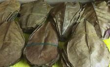 Ca. Seemandelbaumblätter 10-15cm ( 100 Gramm) Terminalia Catappa Leaves