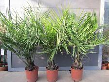 Jubaea chilensis - Honig Palme  -  Pflanze 90-110cm    bis -16°C Frost