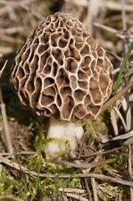 Morchella esculenta Mushroom / Mycelium Spores Spawn Dried Seeds