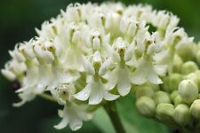 Asclepias incarnata ICE BALLET (Monarch Host Plants) 10 seeds