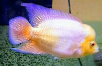 "2 Golden Flame/Red Dragon Flowerhorn FRY 1""-2"" Live Freshwater Aquarium Fish"
