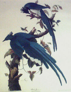 RARE AUDUBON UNFRAMED LITHOGRAPH  'BLUEBIRDS'  EXCELLENT CONDITION, MAKE OFFER!!