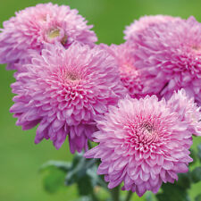 Chrysanthemum Gompie Purple jumbo plug plants x 6 {good for cut flowers}