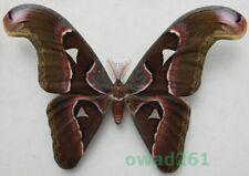 Attacus lorquinii C. & R. Felder, 1861 male ex. pupa Philippines 194mm12d
