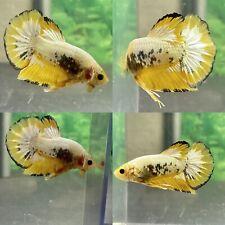 Live Betta Fish Male Yellow Copper HMPK # CC42