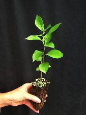 MACLURA POMIFERA 40 alvéolos OFERTA Marrón oscuro de naranja mono ball planta