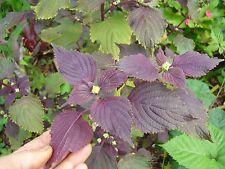 Perilla Frutescens / Shiso - Britton / PURPLE 2 side / 50 seeds / FREE POSTAGE